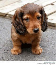 Sweet Dachshund named Indy ;)