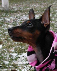 min pin <3 Mini Pinscher, Miniature Pinscher, Doberman Pinscher, Cute Puppies, Dogs And Puppies, English Toy Terrier, Min Pins, Small Breed, Little Dogs