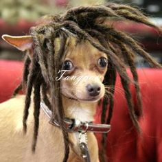 Rasta chihuahua - Funny pictures of animals Funny Chihuahua Pictures, Chihuahua Love, Puppy Pictures, Funny Dogs, Animal Pictures, Funny Animals, Cute Animals, Funny Humor, Funny Stuff