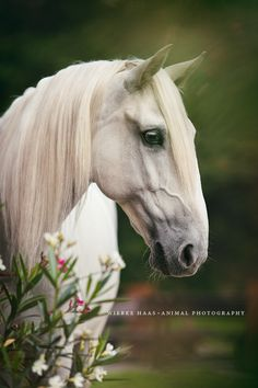 Lusitano Cami horse - by Wiebke Haas Photography<<<This horse totally looks like Saruman from Lord of the Rings All The Pretty Horses, Beautiful Horses, Animals Beautiful, Cute Animals, Horse Photos, Horse Pictures, Equine Photography, Animal Photography, Campolina