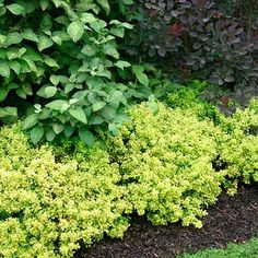 Berberis thunbergii 'Golden Nugget' Dwarf Japanese barberry - Fine Gardening Plant Guide