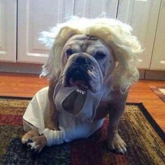 Send in your Bulldog for the Halloween Collection  Upload your Bulldog's Halloween photo or video in the group  https://www.facebook.com/groups/BaggyBulldogWorld with #Halloween