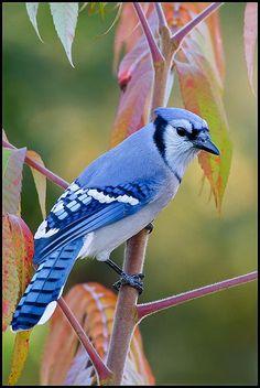 Blue Jay (Cyanocitta cristata) | Said Lemtabti