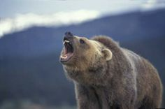 Grizzly in a bad mood
