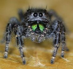 Jumping spider. Adorbs.
