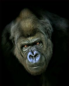 This beautiful portrait of a Silverback Gorilla was photographed by Paul Keates. Walk amongst these incredible animals with one of our gorilla trekking tours. Primates, Mammals, Beautiful Creatures, Animals Beautiful, Regard Animal, Animals And Pets, Cute Animals, Gorilla Tattoo, Silverback Gorilla