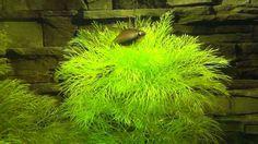 Kaisersalmler in ihren Pflanzen im 200 liter Aquarium - Emperor tetras -...