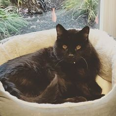 Hi, I'm Cody, chillin' on a Caturday afternoon. I'm 22, so don't get out as much as I used to, but still love hanging with my humans! #catlife #caturday #seniorcat #blackcat #whatcatsdo #catoftheday #pawfection #catlover