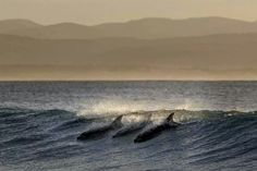 Surging dolphins by Nick Bothma