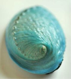 Abalone Shell- beautiful color!