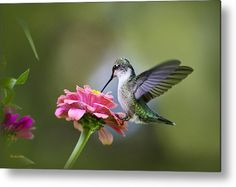Hummingbird Metal Print featuring the photograph Tranquil Joy by Christina Rollo