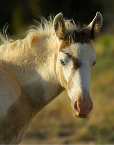 Looks kind of like a tobiano foal in the middle of greying out (goggles around the eyes are one of the first things to grey)