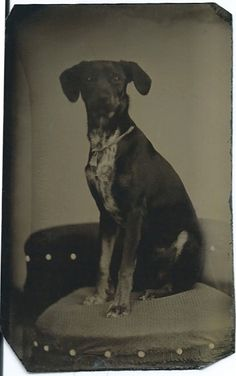 c.1870s hound with a ribbon bow around his neck, sitting obediently on a photographer's fringed chair. Slight head movement. From bendale collection