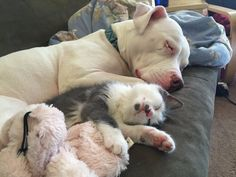 Rescue Pit Bull Is The Best Mom To Her Foster Kittens