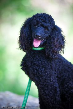 miniature black poodle - Google Search  Looks just like Miss Mitzi Bell Mittens, my childhood pet.