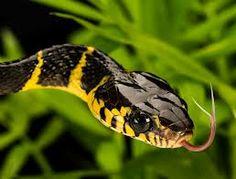 Mangrove Snake - Google Search