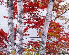 Google Image Result for http://www.7photographyquestions.com/images/19/white_birch_tree.jpg