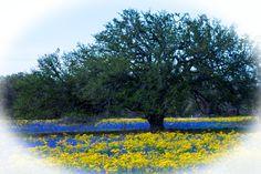 Texas Wild Flowers, E. Bexar County - Sa,Tx
