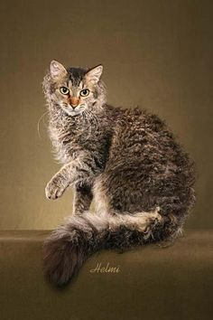 LaPerm Cat - The LaPerm is an exceptional combination of curly hair and affection. This longhair breed often wears a curly, plumed tail and exhibits a full, curly ruff. The shorthair LaPerm has more texture to the coat than does the longhaired variety. Both come in all colors and coat patterns.