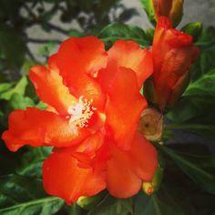 #Panama #Flower #Flor