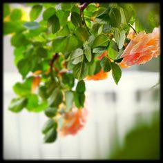 玄関のアーチで咲くウィリアムモリス #rose