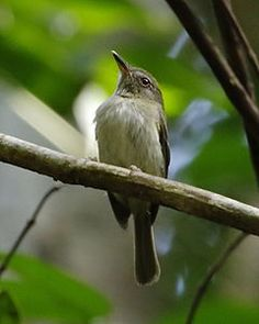 Maria-sebinha ( Hemitriccus minor)