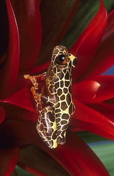 ☆ Clown Frog, Amazon, Peru :¦: Gail Melville Shumway Photography ☆