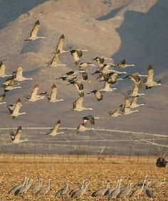 Whitewater Draw is home to wintering sandhill cranes each season. Enjoy a FUN tour to this pristine and remote wildlife conservation area in Southern Arizona! Photo complements of www.funbirdingtours.com with www.arizonasunshinetours.com