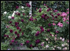 'Munstead Wood' Rose Bush - 4 years old, planted in Nov 2008. Height = 170 cm (abt 5.5 ft). Width = over 200 cm (over 6.5 ft.) Very disease resistant, some problems with powdery mildew in hot summer but nothing serious, no blackspot, no rust.  Tulcea, Romania, zone 6.