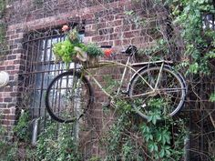Old bicycle hanging on the garden wall as a trellis for the ivy. I like it!