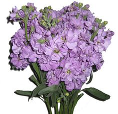 Fresh Cut Lavender Stock Flower- if we can't get lilac, we're looking at other options
