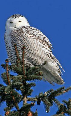 Bubo scandiacus (Snowy Owl) http://en.wikipedia.org/wiki/Snowy_Owl    http://lt.wikipedia.org/wiki/Baltoji_pelėda