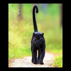 That tail so cut That tail so cute! When I was little girl I always wanted to have a panther.I told my parents all the time that I will have one because they are best pets now I have one stuffed one Big Cats, Cool Cats, Cats And Kittens, Beautiful Cats, Animals Beautiful, Chat Lion, Black Panther Cat, Black Cats, Animals And Pets