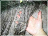 """How to Detangle a Badly Matted Horse Mane and Tail - Good tips. I do not wash first -- hair stretches too much when wet. Also, liberally combing Cowboy Magic through my horse's mane is part of my """"pre-storm prep."""" I use one of those hair picks, made for curly hair. And, I work on knots every day while she eats -- before the dreads get out of hand!"""