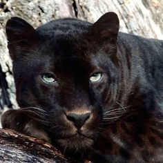Black Panther Being Leisure. Panther Leopard, Panther Cat, Animals And Pets, Baby Animals, Cute Animals, Beautiful Cats, Animals Beautiful, Big Cats, Cats And Kittens