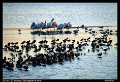 Large gathering of birds, Ding Darling National Wildlife Refuge. Sanibel Island, Florida, USA (color)
