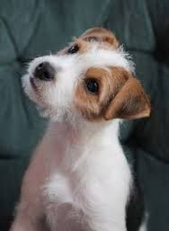 Image result for long haired jack russell terrier puppies for sale in kent