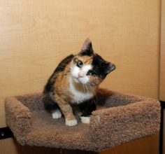 Blair is an adoptable Calico Cat in Farmingdale, NY. I was found in a large feral colony. I am super sweet and love to cuddle. You may notice that my heads tilts to the side a little. I was actually s...A Wing And A Prayer Animal Rescue, Farmingdale, NY     •631-987-6509