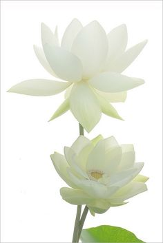 Two White Lotus Flow Beautiful - via: flowersgardenlove: - Imgend