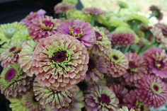 these #zinnias! #queenredlime #slowflowers #fieldtovase #fiveforkfarms #flowerfarm