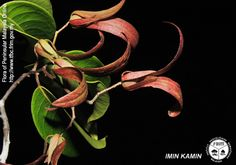 Vatica mangachapoi - Fruits(v).jpg