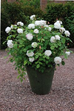 Buy Winchester Cathedral from David Austin with a 5 year guarantee and expert aftercare. Rosas David Austin, David Austin Rosen, White Gardens, Small Gardens, Container Plants, Container Gardening, Winchester Cathedral Rose, Rose Foto, Rose Care