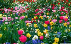 Daffodils, Tulips, <b>Spring</b> Flowers Flores Wallpaper, Spring Wallpaper Hd, Frühling Wallpaper, Spring Flowers Wallpaper, Wallpaper Backgrounds, Wallpaper Ideas, Computer Wallpaper, Nature Wallpaper, Amazing Flowers