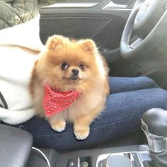 Oh those eyes. My Pomeranian has those eyes once she got a little older. She loved her rides in the car.