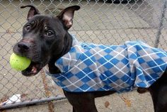 PONCHO - A1099335 - - Manhattan  Please Share:TO BE DESTROYED 01/07/17: ****PUBLICLY ADOPTABLE**** A volunteer writes: Toys? I love toys, says Poncho! And what I love about Poncho is that despite being emaciated, he hasn't lost his desire to play and make friends. We're feeding Poncho an extra meal daily to help him gain some weight. Easily leashed, he potties as soon as we're out the door, and looks up as if waiting to be told he's a 'good boy