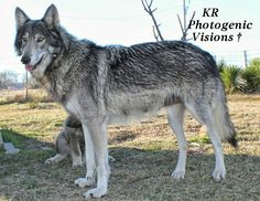 Tala Gray wolf is a timberwolf and mom to Flower our coy wolf. She gets the coy wolf from her dad.