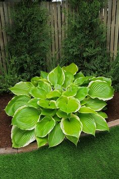 "Hosta 'Winter Snow' - Giant Height 3ft, Spread 60-82"" Leaves are 16 x 13. Wave spacing 54"", Specimen spacing 72"". Part Sun-Part Shade. Listed as Sun resistant. Shiny, broadly ovate, medium-green leaves & white margins. Pale lavender, bell-shaped flowers, on 39"" scapes in mid-summer. Forms a giant clump of unruly foliage. Moderate growth rate. Not slug resistant. The best of the white edged sports of H. 'Sum and Substance'. 'Winter Snow' sets limited viable seed."