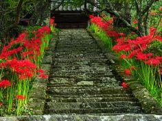 Lycoris radiata Nara. Japan