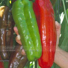 100 Gigante sementes de pimenta Chill -- Marconi Pimentas-DIY Início Jardim Planta Vegetal bom gosto