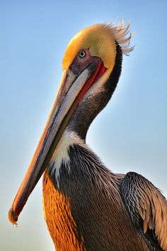 """~~ """"Charlie"""" the Pelican on the Oceanside Pier. - Rich Cruse ~~"""